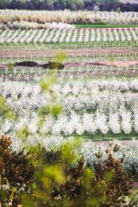 Szydłów kraina kwitnącej śliwy